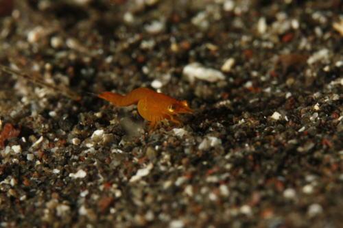 甲殻類 不明種