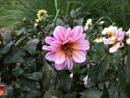 りりしく咲いてます