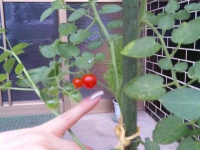 小指サイズのトマト♪