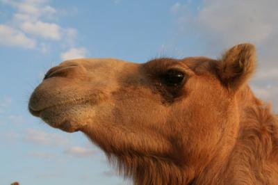 abu-dhabi-camel-farm_400.jpg