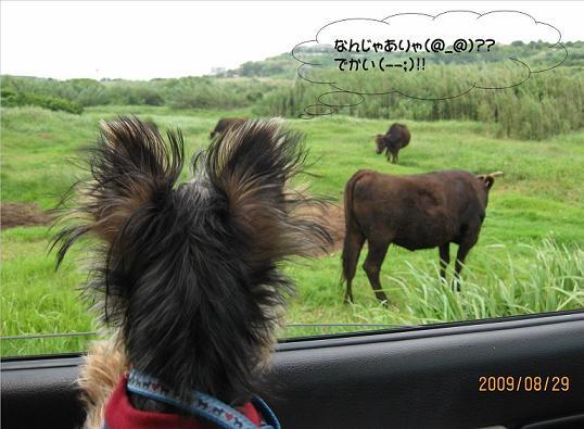 はじめての牛