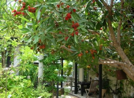 ジーノの前の山桃の木