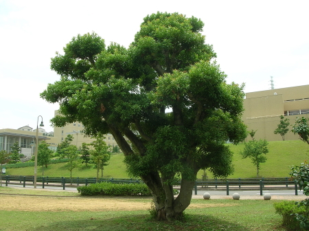 県立大シーボルト校前、公園の山桃の木