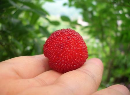 赤い山桃3センチ