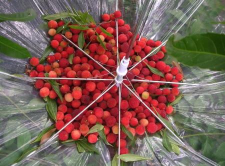 傘にいっぱいの山桃