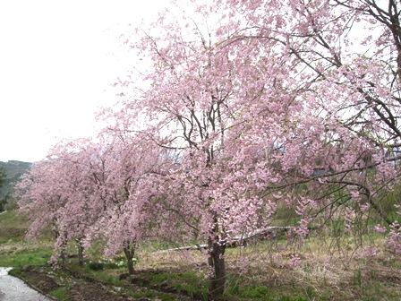 H23.5.15_蛍の里桜満開1