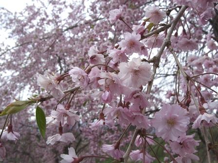 H23.5.15_蛍の里桜満開