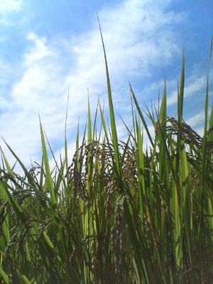 収穫2009_0913_02.jpg