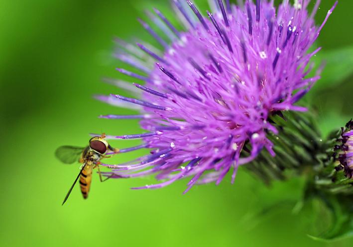 _DSC蜂と薊2