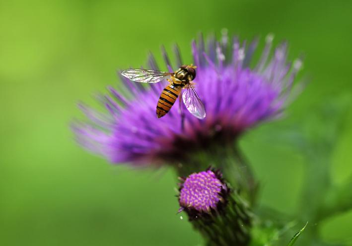 _DSC蜂と薊1
