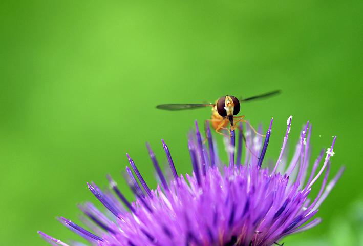 _DSC蜂と薊3