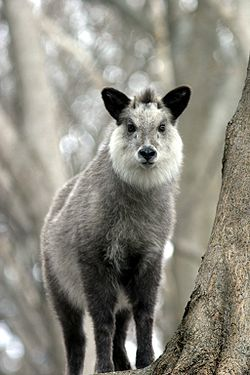 250px-Japanese_Serow_Wakinosowa_Japan.jpg