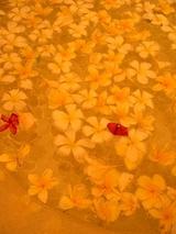 大好きになった花、フランジパニ♪
