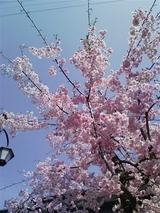 愛宕坂の八重桜