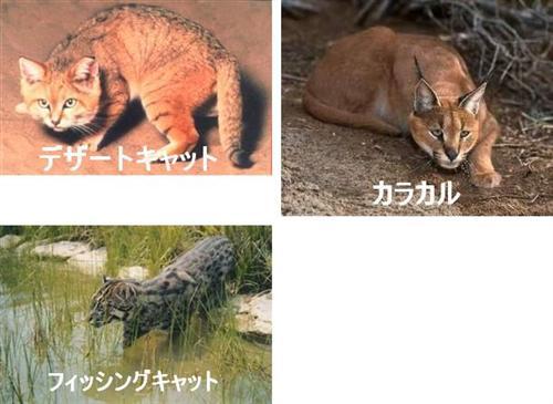 desertcat (Custom)