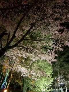 夜桜お七なカンジ