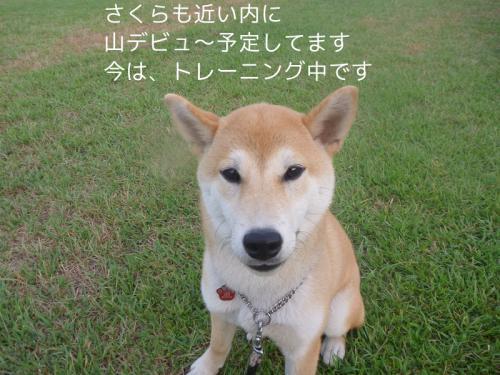 sakuraお知らせ